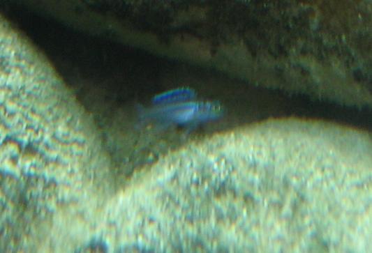 "Melanochromis Cyaneorhabdos ""Maingano"" Attachment"
